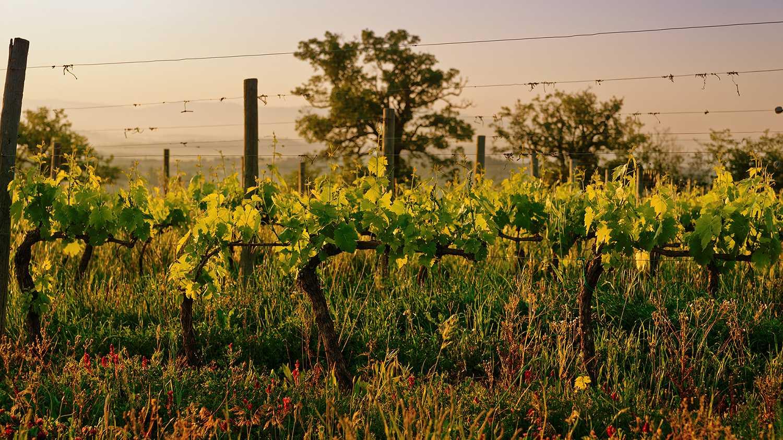 terroir project - vineyard
